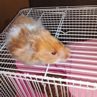 4month old hamster with all supplies included