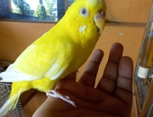 Tame budgie and cage