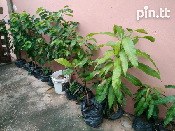 Plants- Soursop, Sugar apple, Mango, Chinese Pommerac, Others....-3