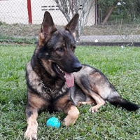 Working Line Registered German Shepherd