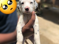 Full breed Dalmatian puppies