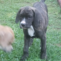 Puppy - Cane corse mix. Born October 7th, 2020. Vaccinated.